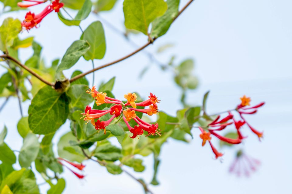 Coral honeysuckle plant with red and orange tubular flowers on end of stems closeup