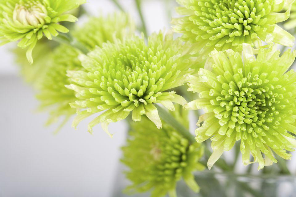 Green chrysanthemum