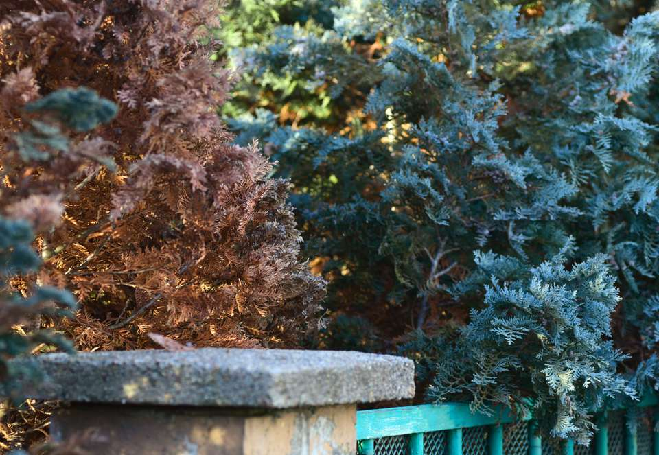 Arborvitae trees with brown and green leaves behind fence