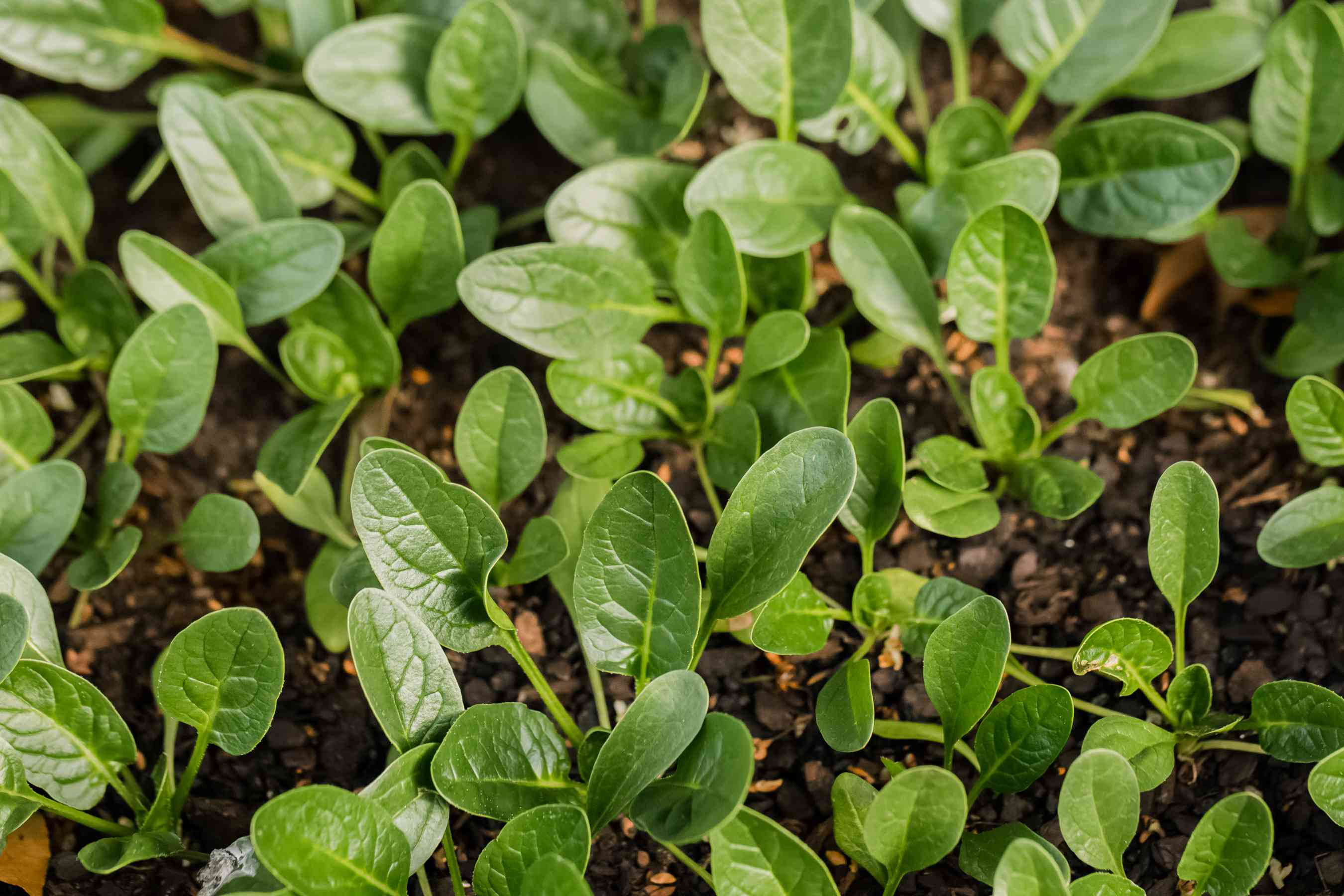 spinach growing in the garden