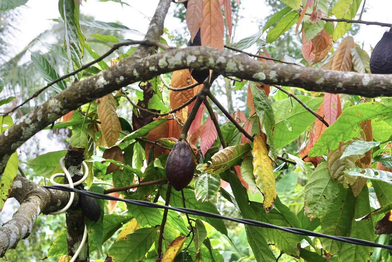 Cacao tree branches with green and brown leaves with cacao bean in the middle above black wire