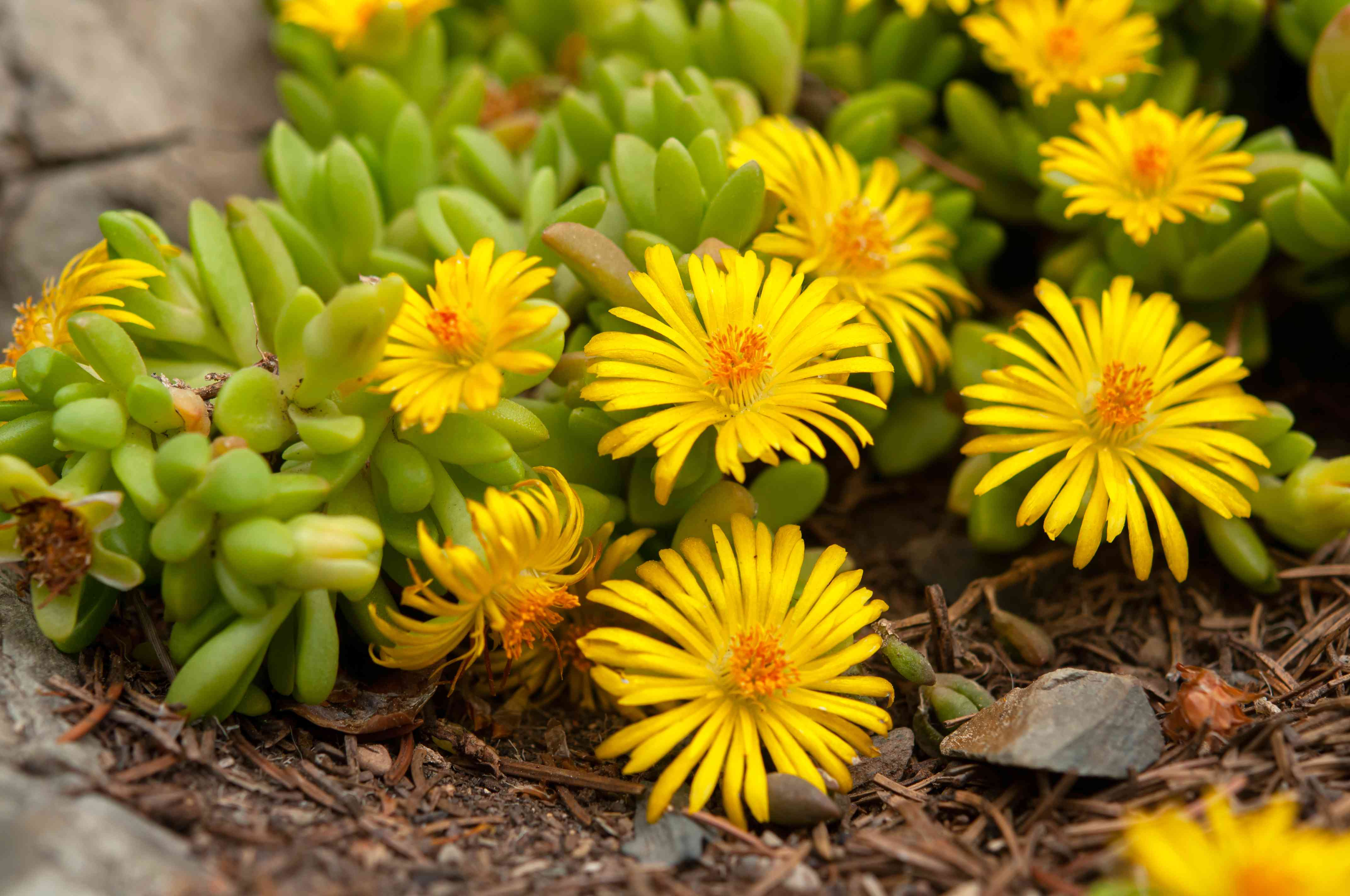 yellow variety of ice plant