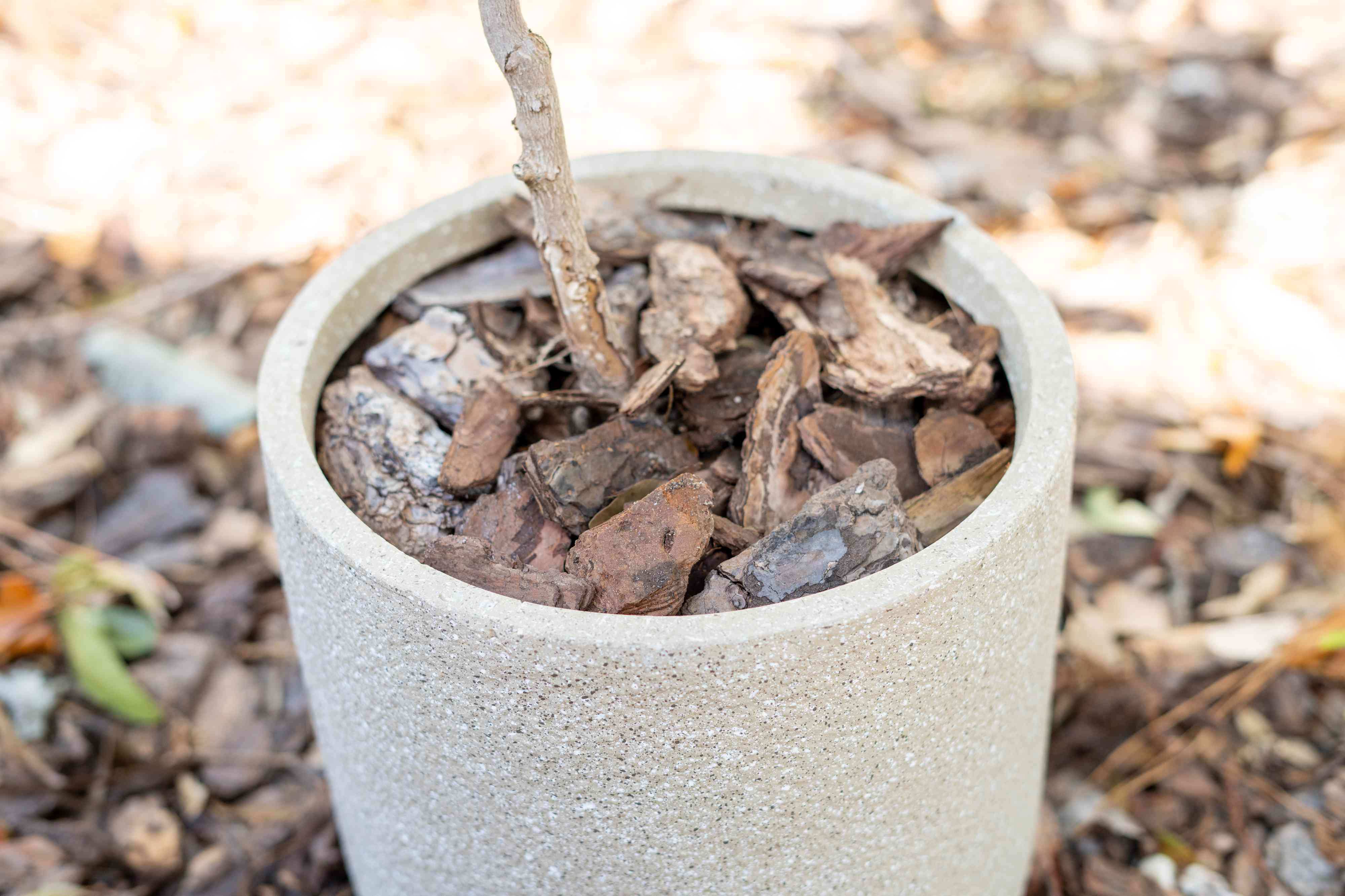 Potted magnolia trunk base covered in wood chips in ceramic pot closeup