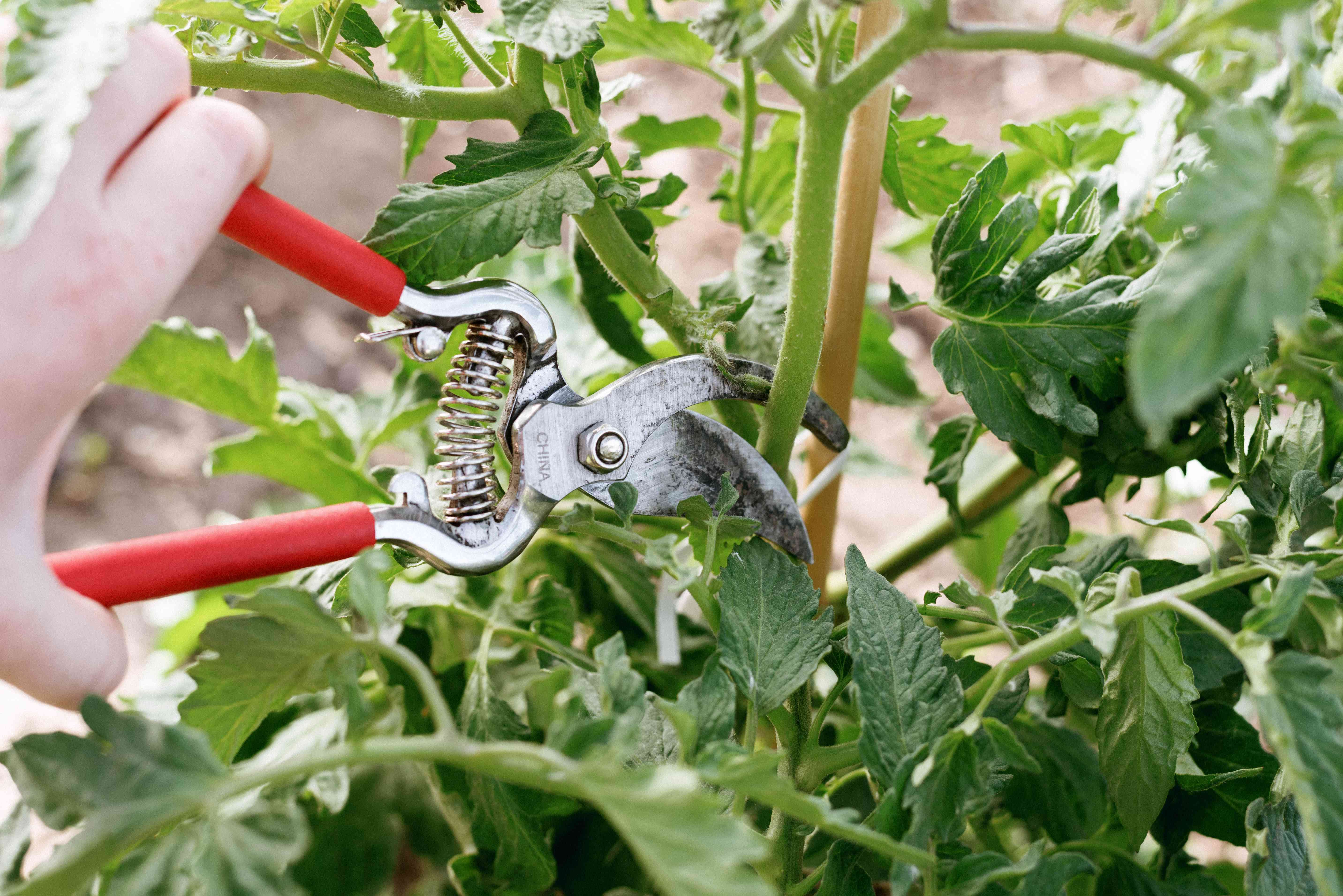 person pruning a tomato plant