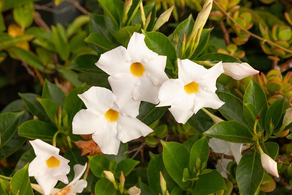 Petunia plant with leaves surrounding white flowers with yellow centers and buds closeup