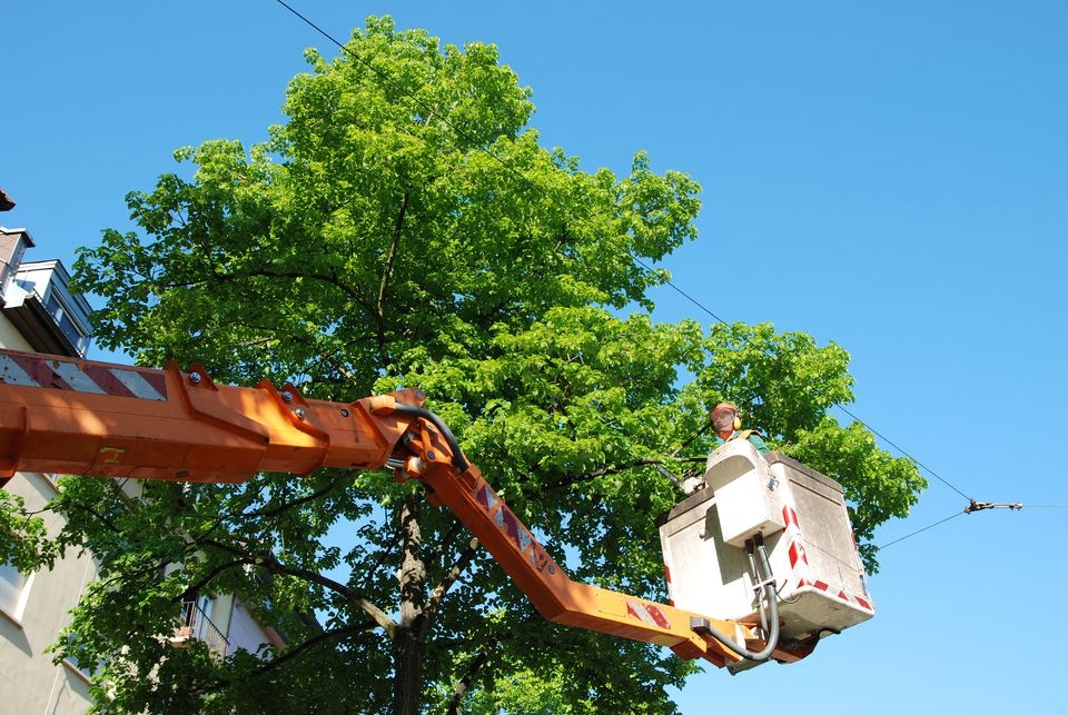 Arborist in lift working on a tree