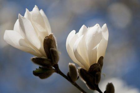 12 species of magnolia trees and shrubs anise magnolia mightylinksfo