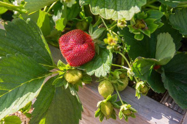 Strawberry plant with red ripe strawberry and light green strawberries hanging closeup
