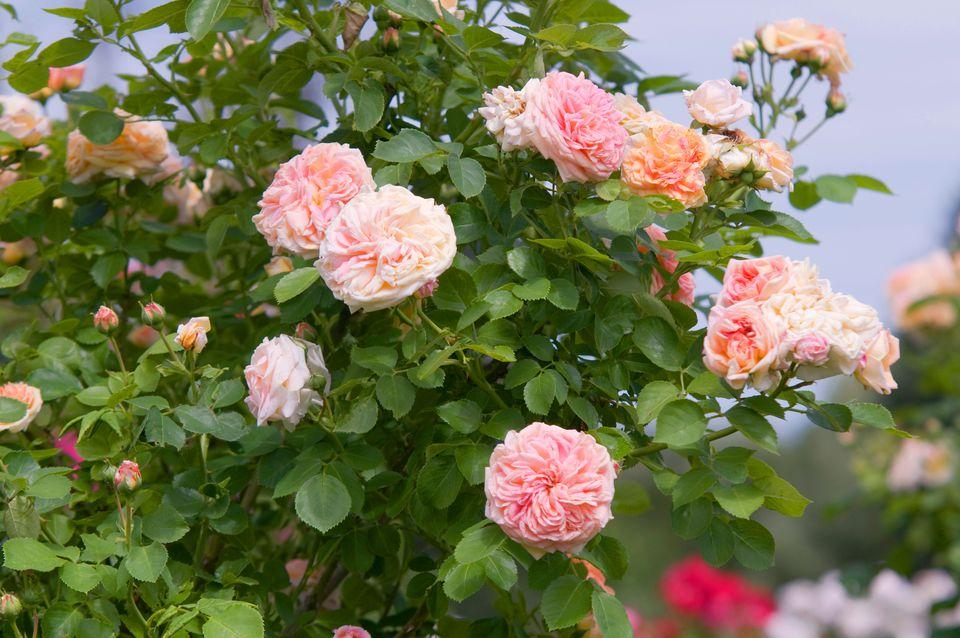 Rose alchymist bush with climbing light pink flowers in garden