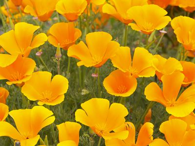 Poppies: Hard, Easy, and Too-Easy-to-Grow Types