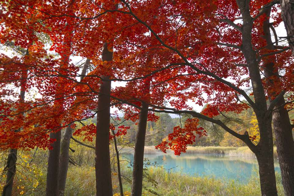 Red maples with fall color and water in background.