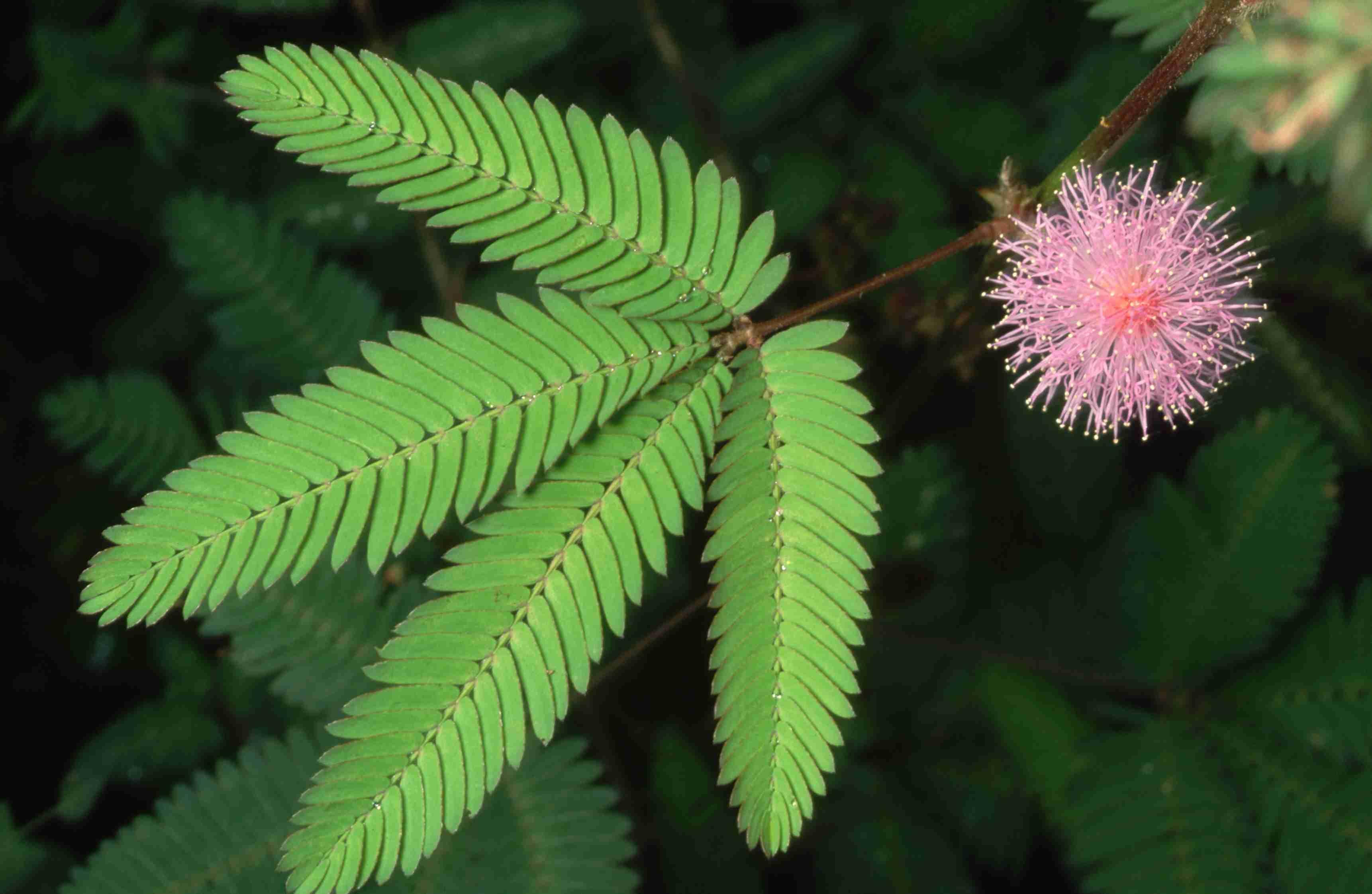 Sensitive Plant closeup