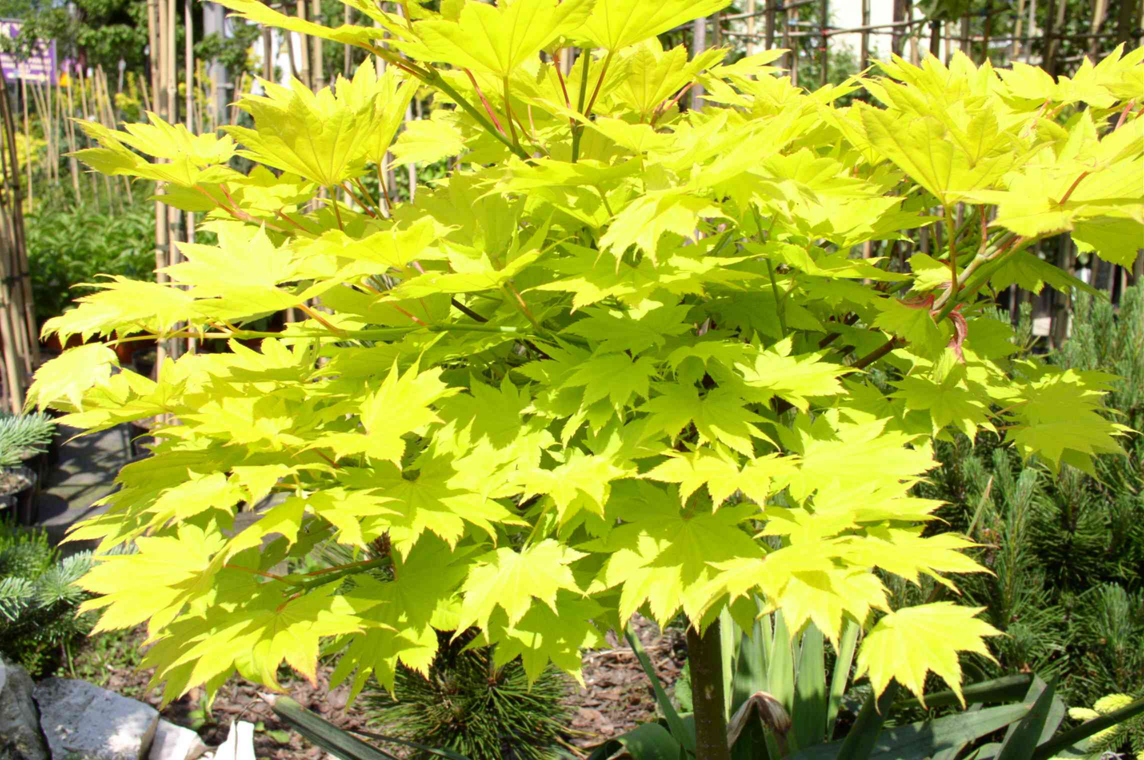 Full Moon Maple with chartreuse leaves