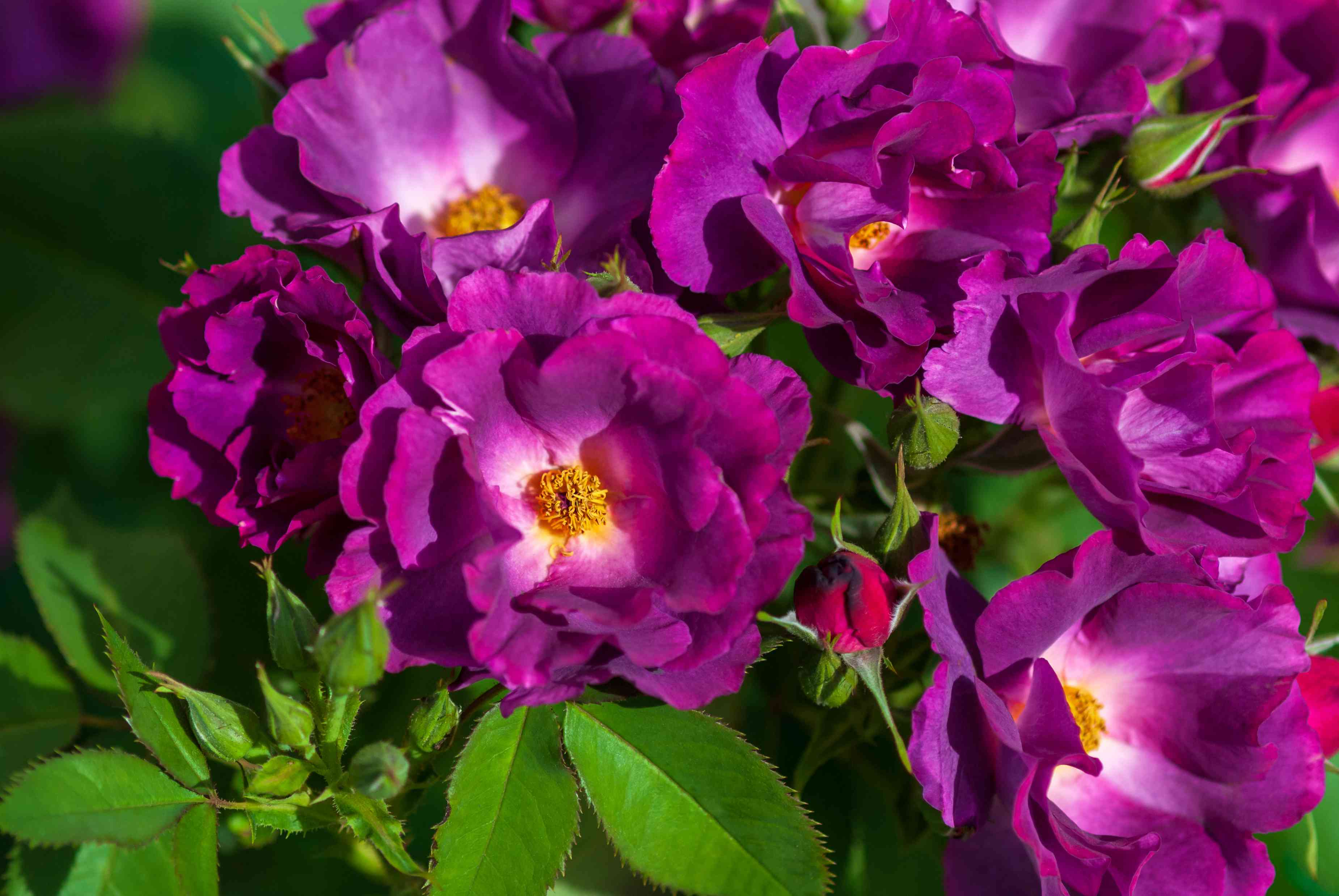 Rhapsody in blue rose plant with vivid purple and ruffled flowers in sunlight closeup