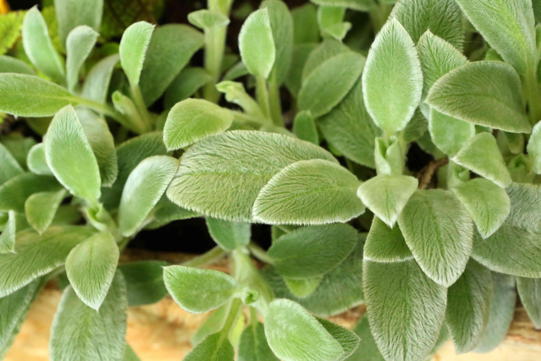 Lamb's Ear - Stachys Byzantina K Koch - Lamiaceae