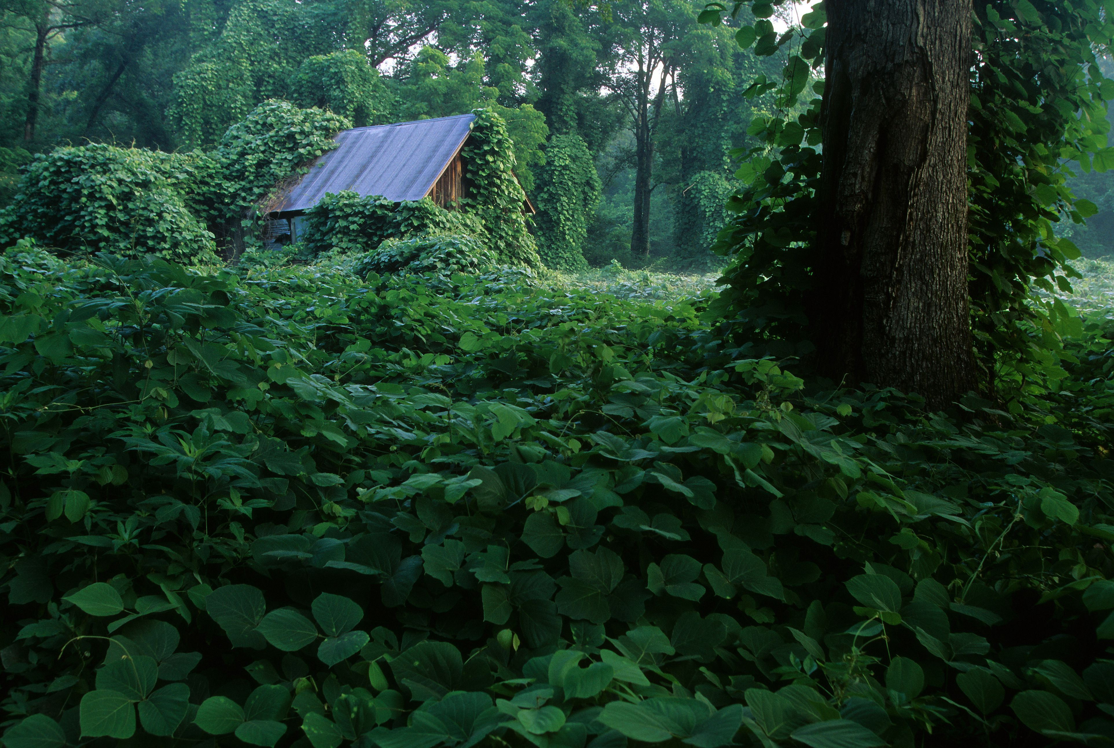Kudzu in the South over growing a barn