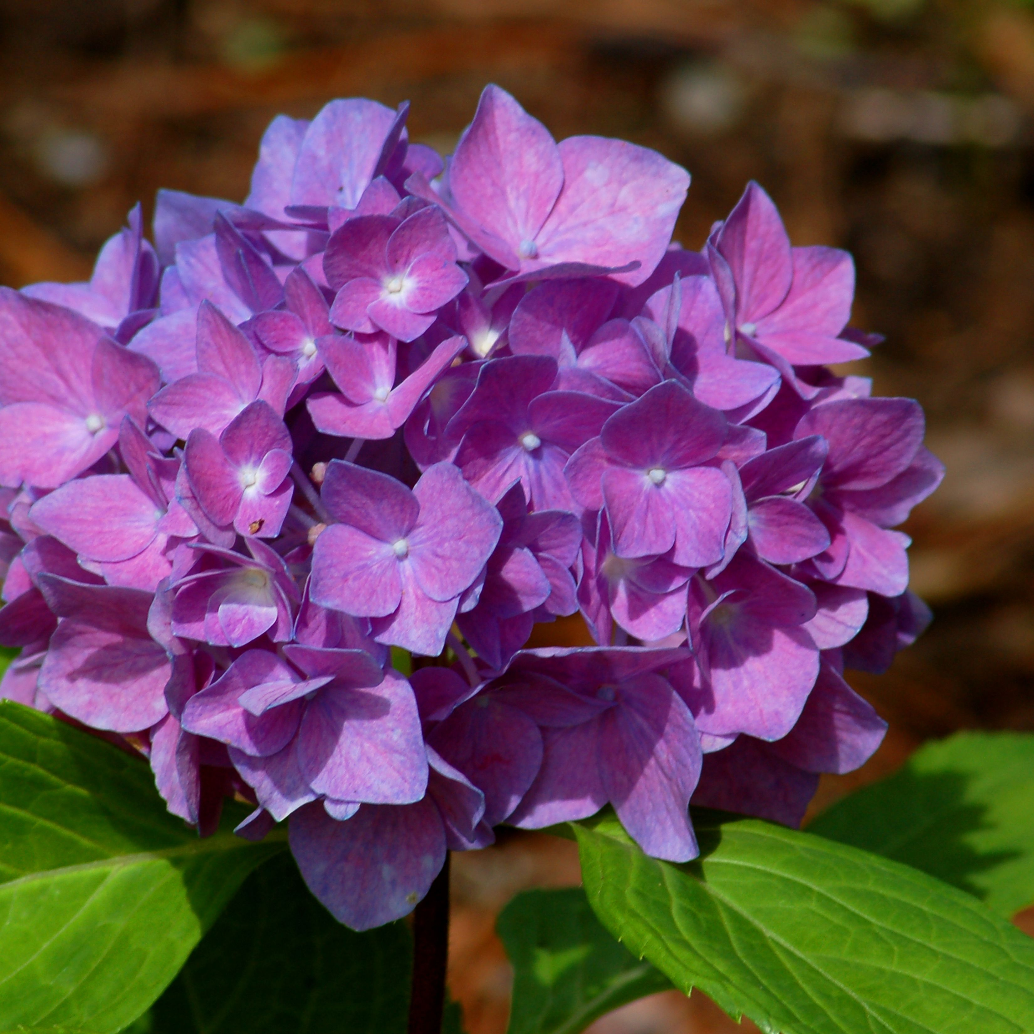Changing Hydrangea Colors