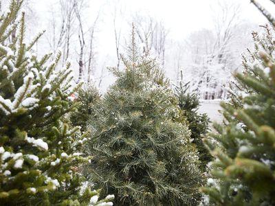 visiting a Christmas tree farm