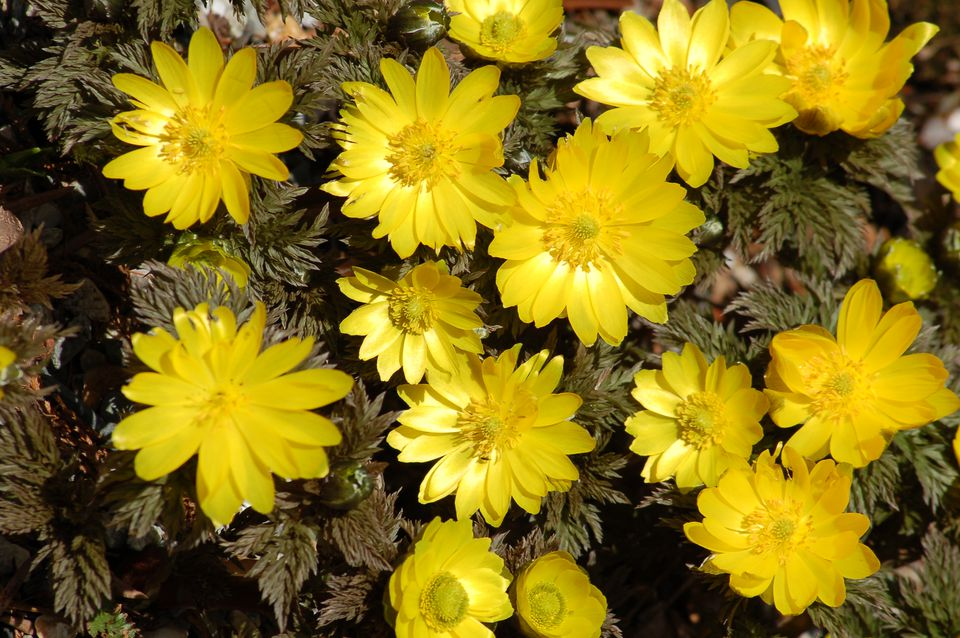 Adonis flowers blooming in a mass upon feathery foliage.