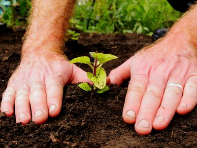 Plant cutting transplanted with hands covering plant with soil