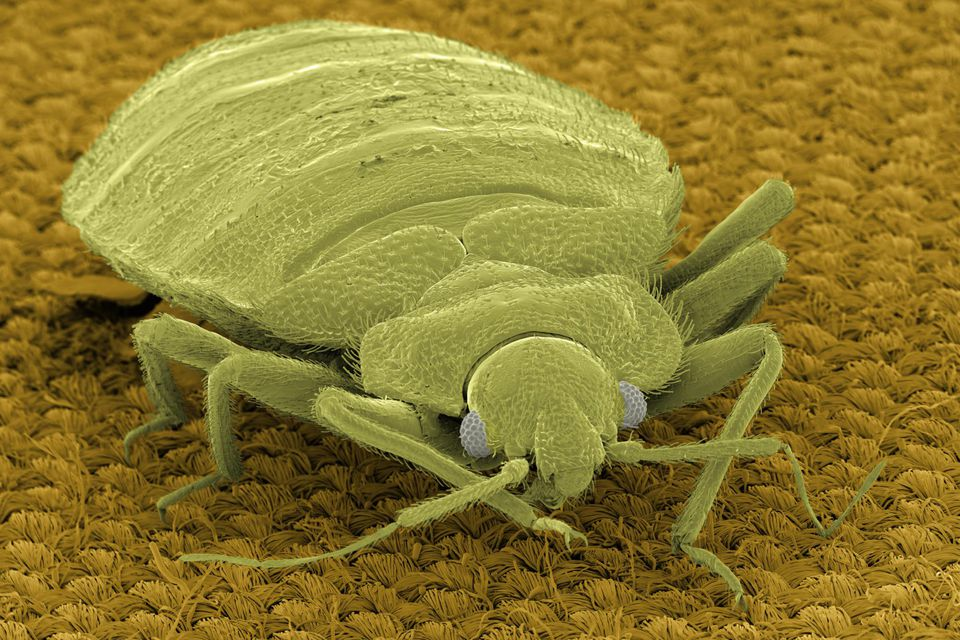 SEM Micrograph of bedbug on fabric