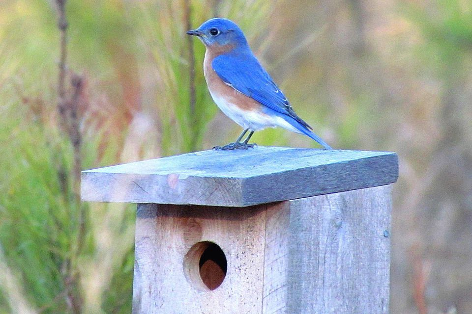 Eastern Bluebird on a birdhouse