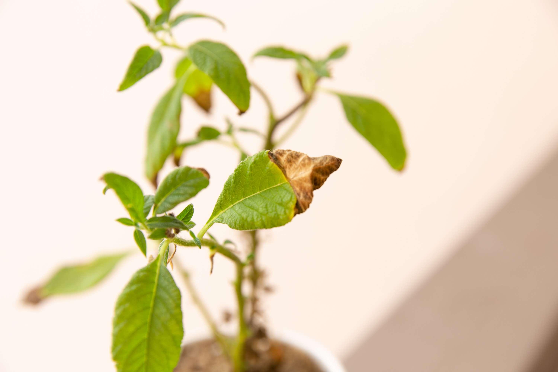 tip of leaf turning brown