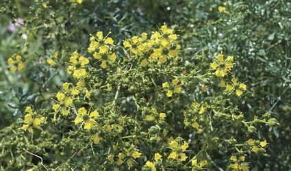 Common Rue Plant