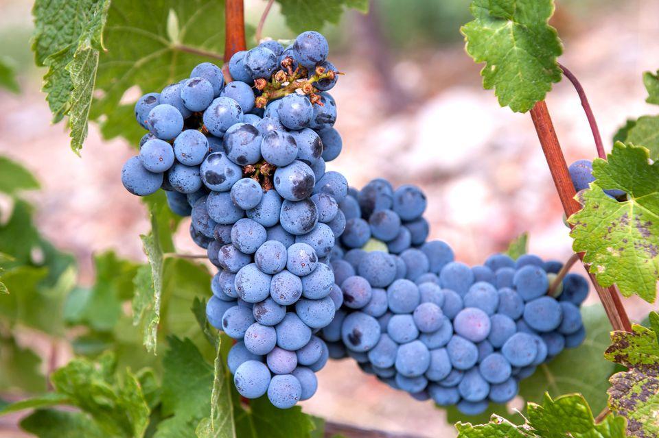 Common cabernet sauvignon grape vines with blue grapes