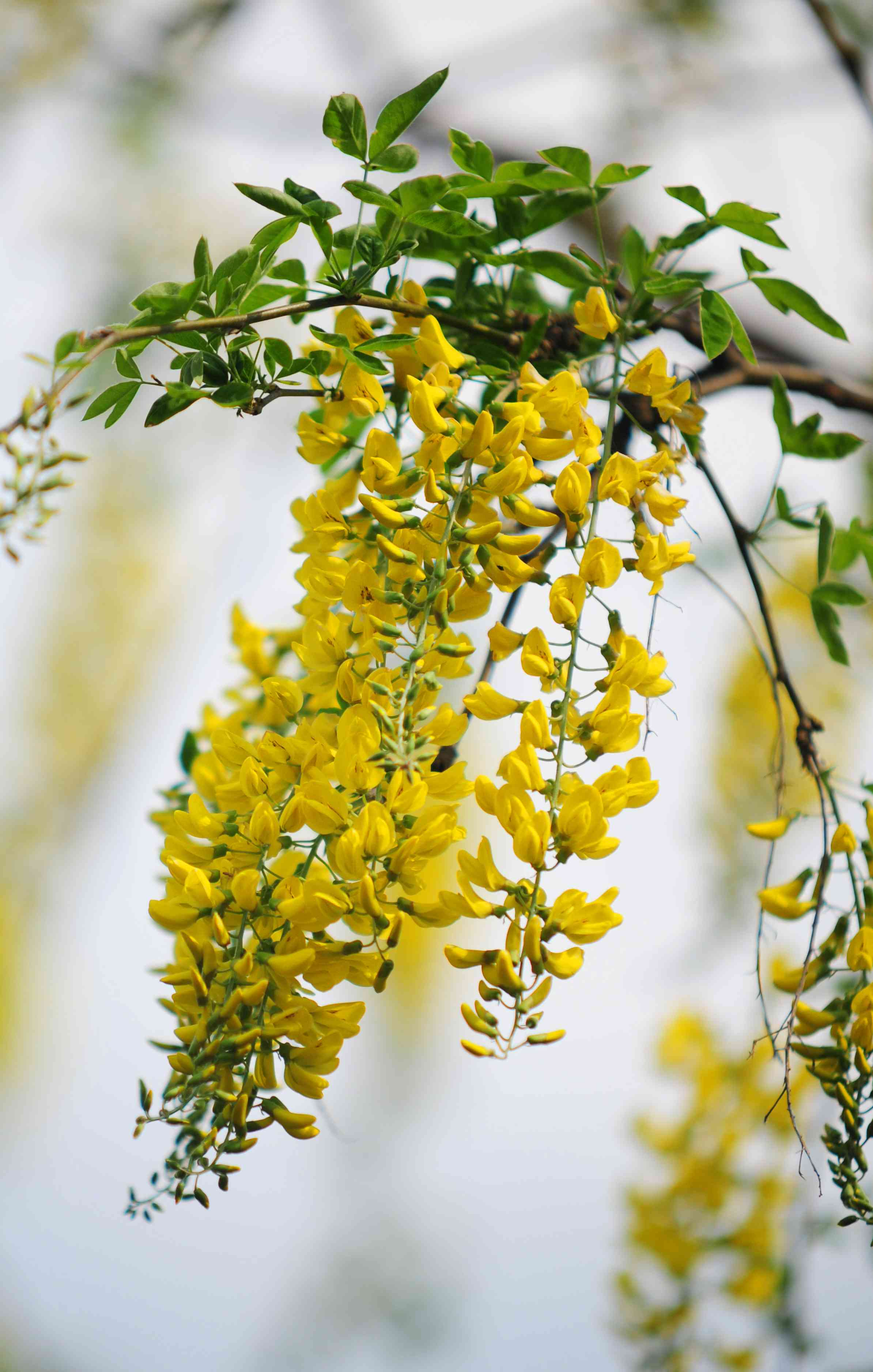 Golden chain tree branch with golden-yellow flowers closeup