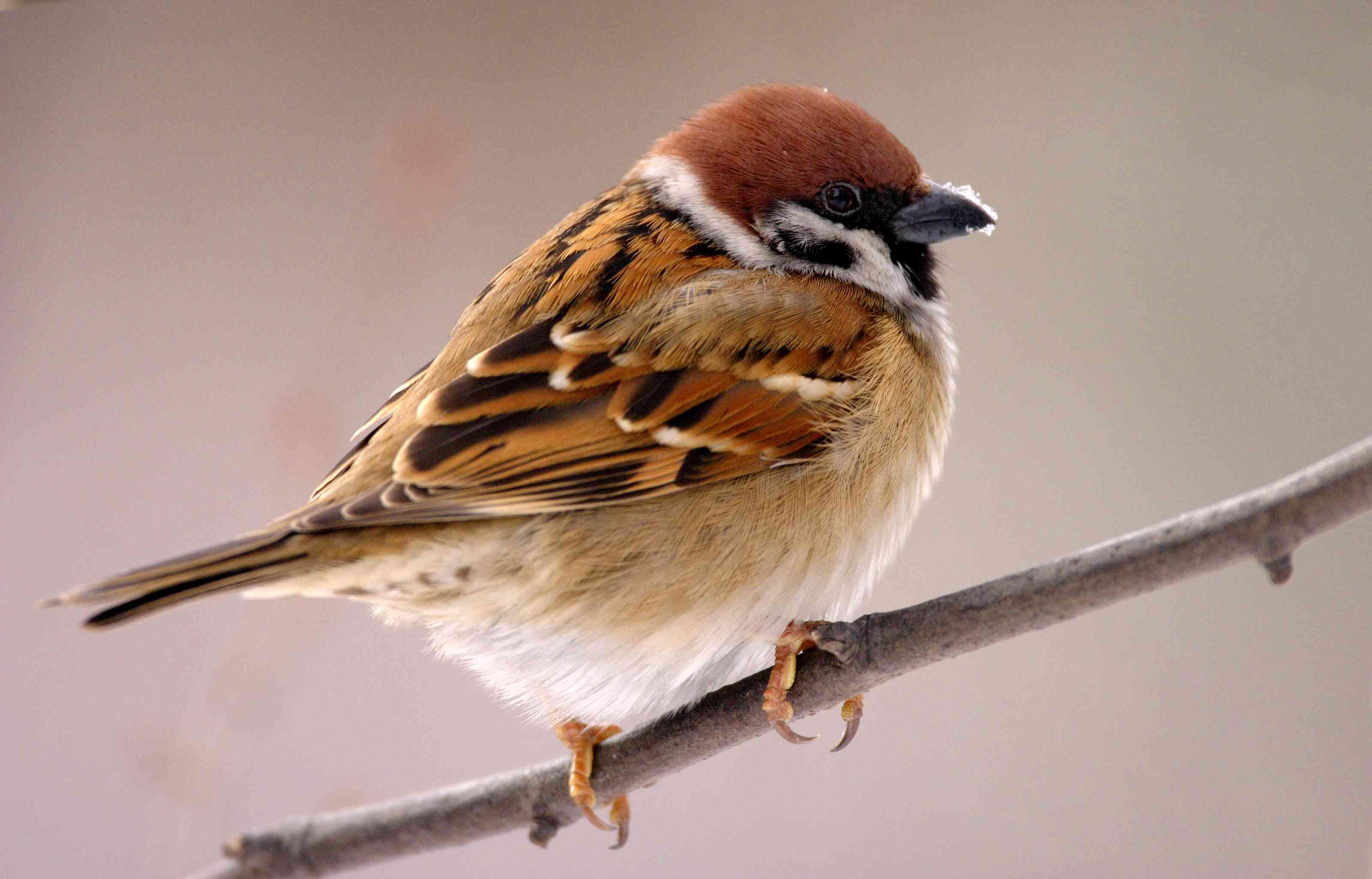 Single Tree Sparrow bird on a tree branch