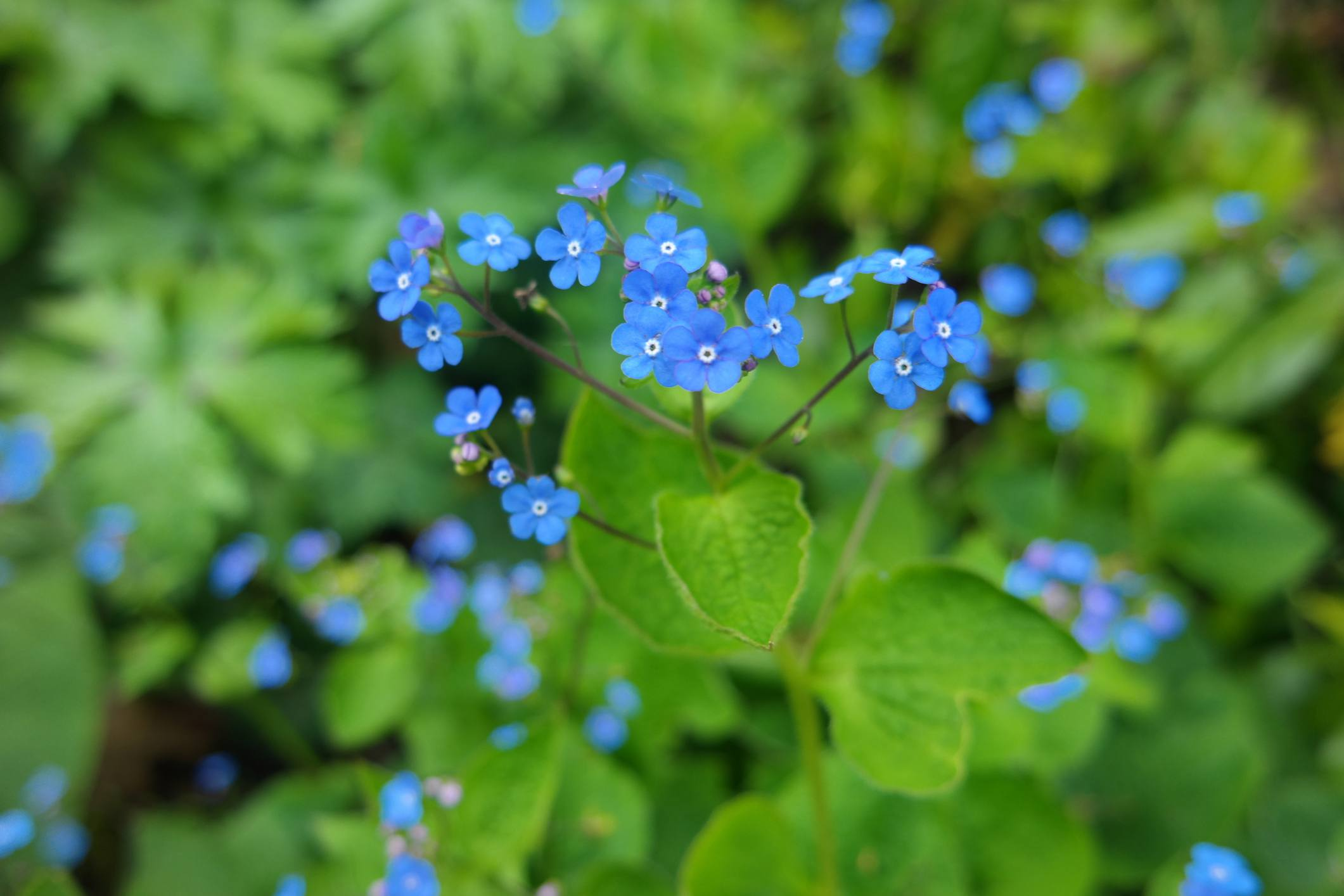 Blue forget-me-not flowers blooming.