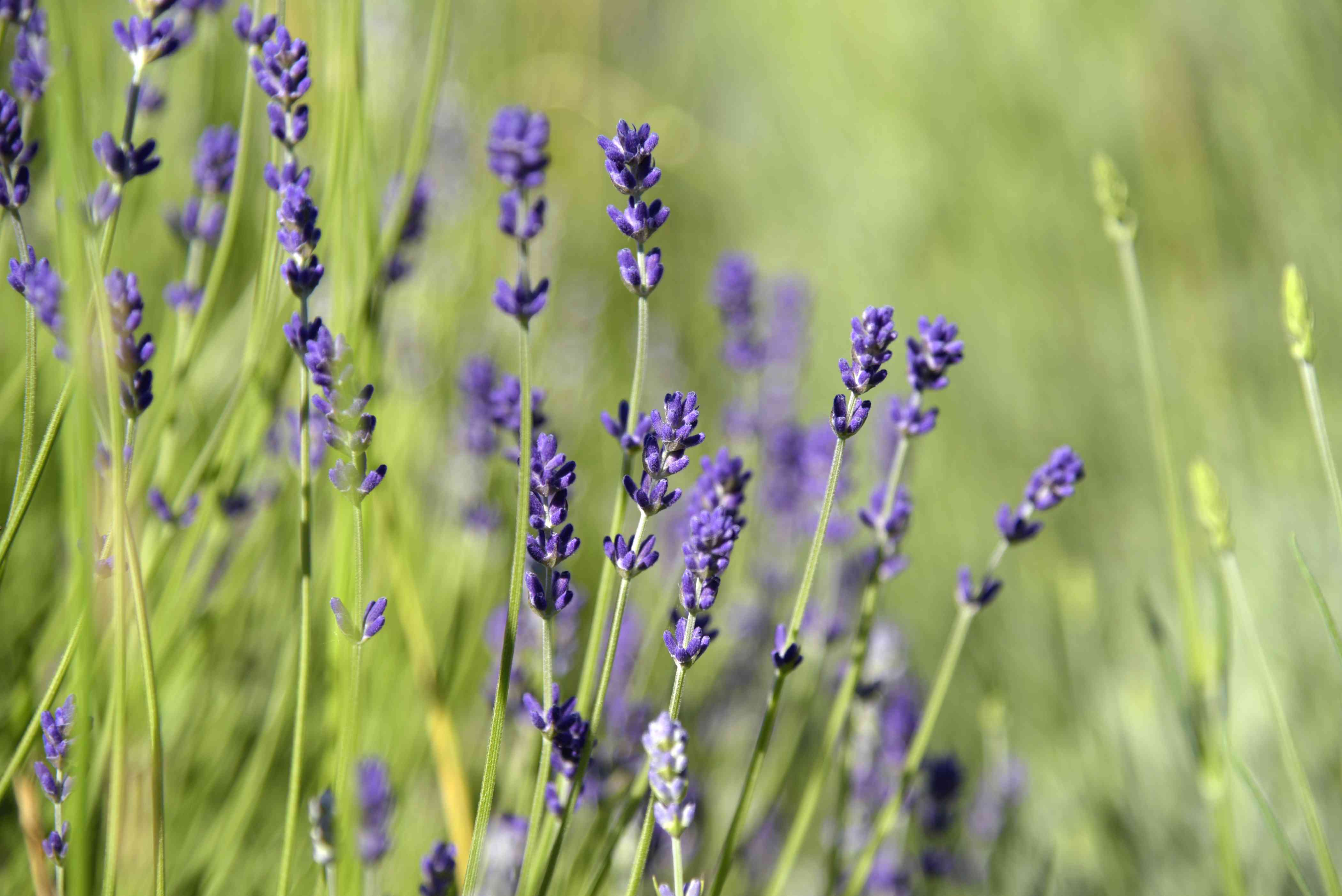 Munstead lavender with bright purple blooms on thin stems closeup
