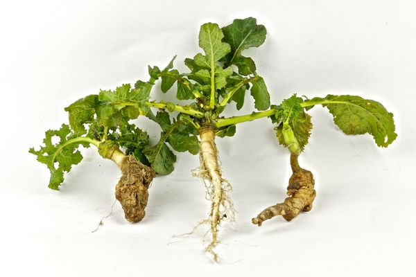 Clubroot on rape seed (canola), showing a healthy root in the center