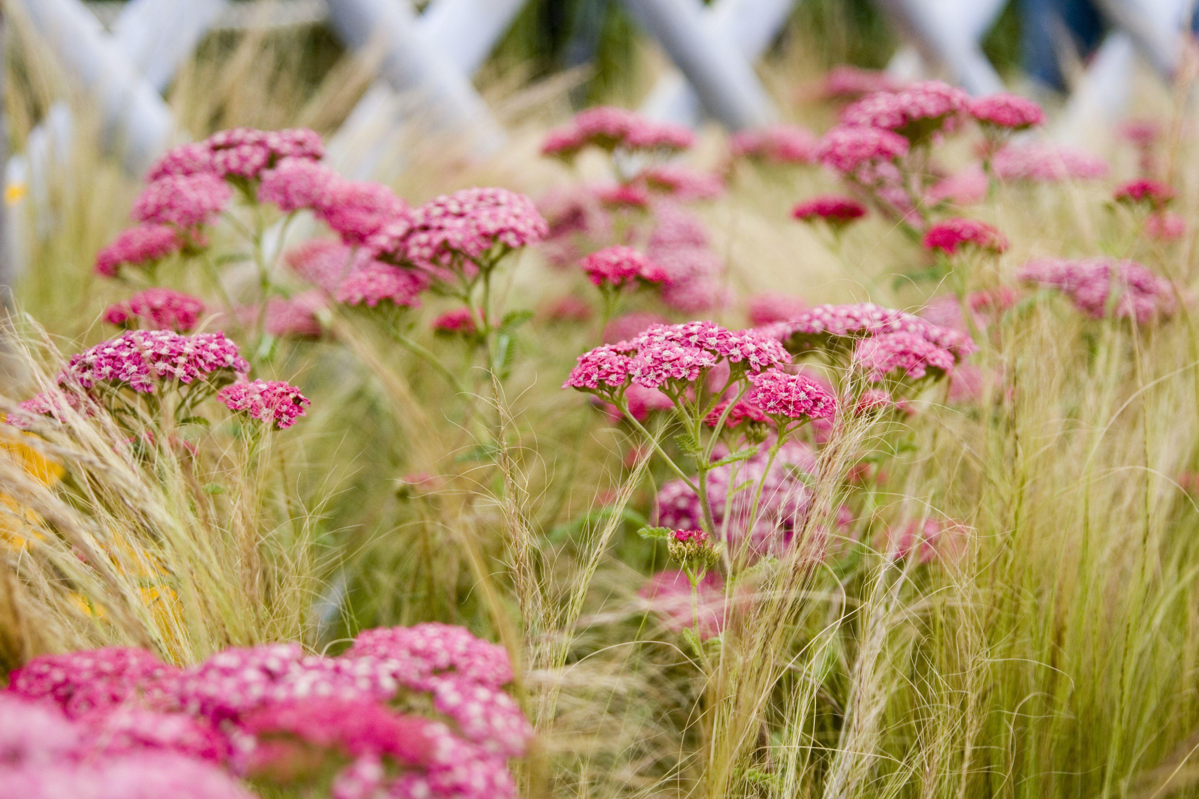 Hampton Court Flower Show, 2008 -- Yarrow (Achillea millefolium)