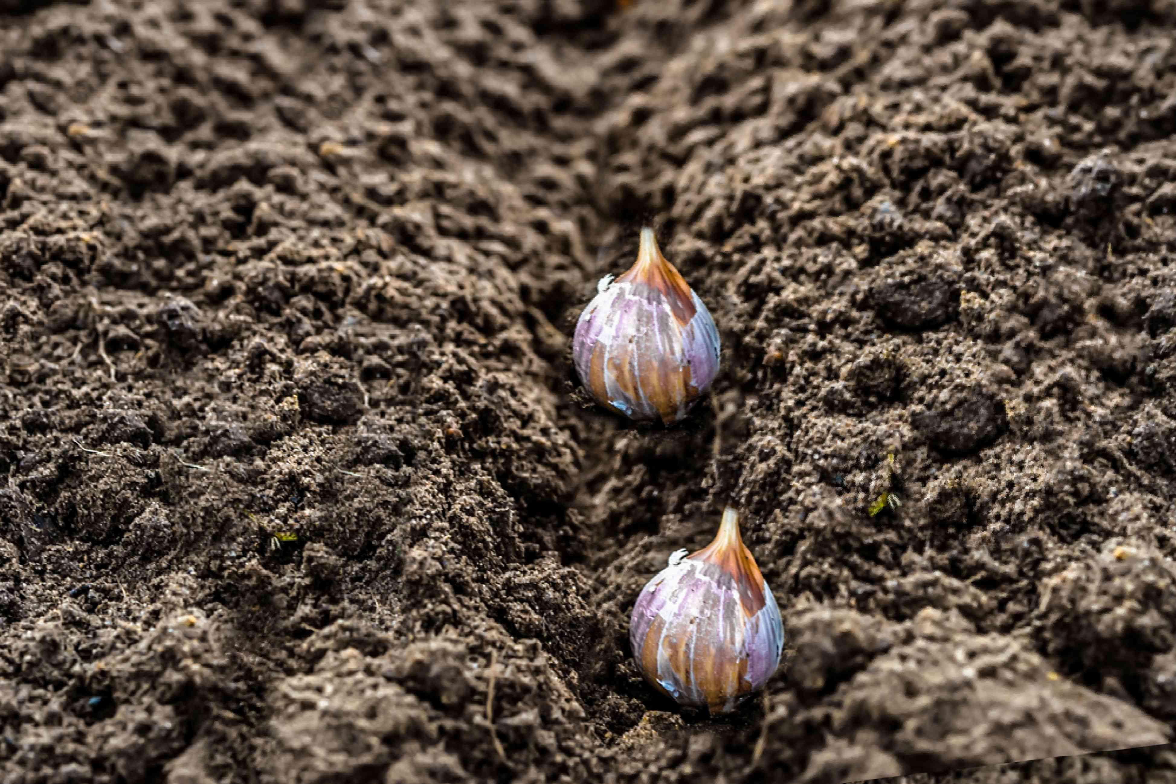 garlic cloves in the soil
