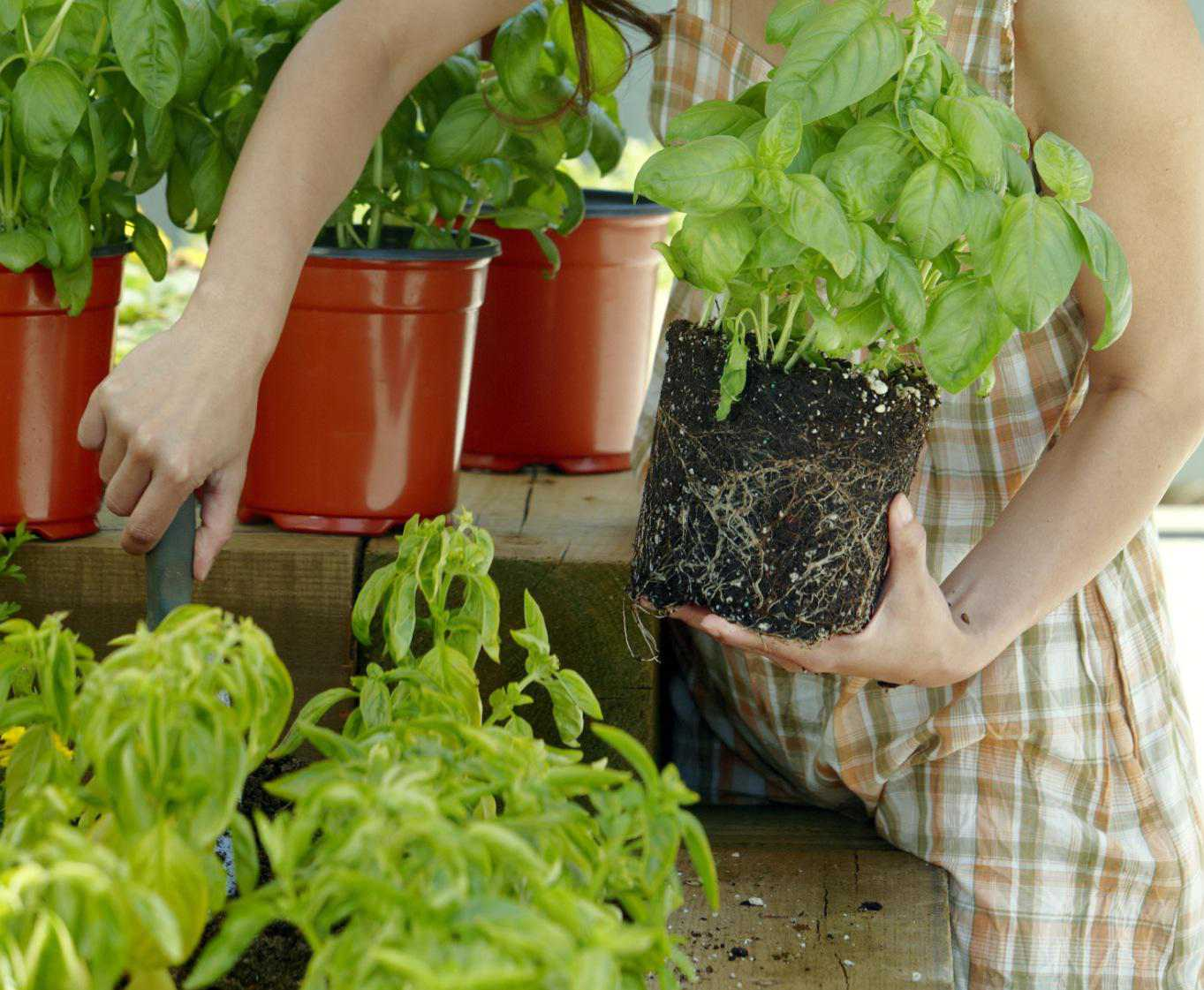 Woman plants Basil in garden