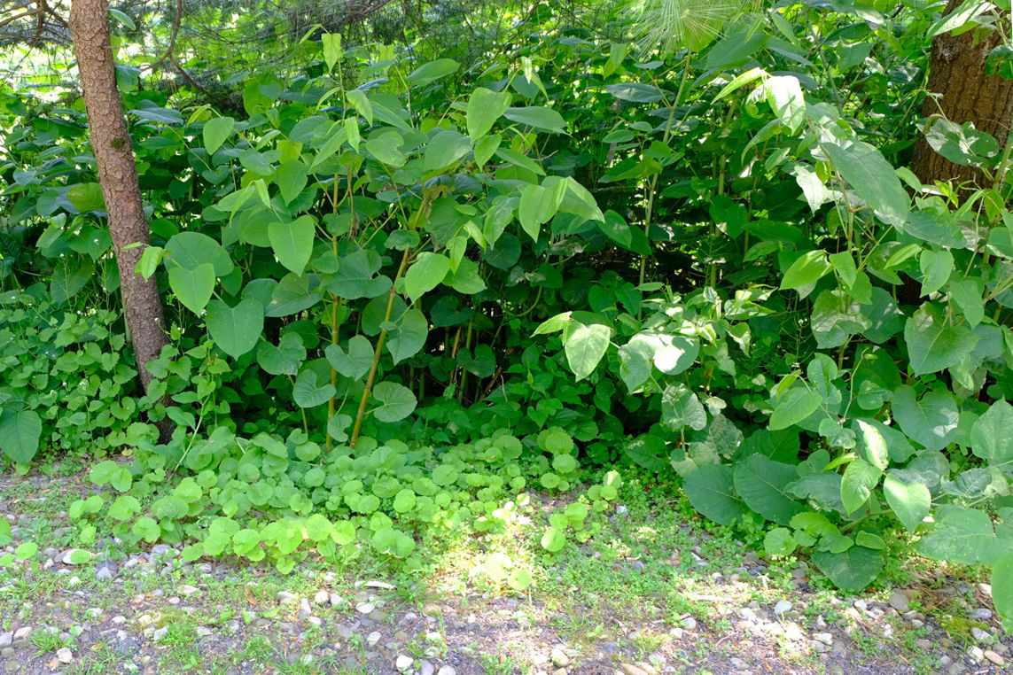 Japanese knot weed with large green leaves on thin stems near gravel