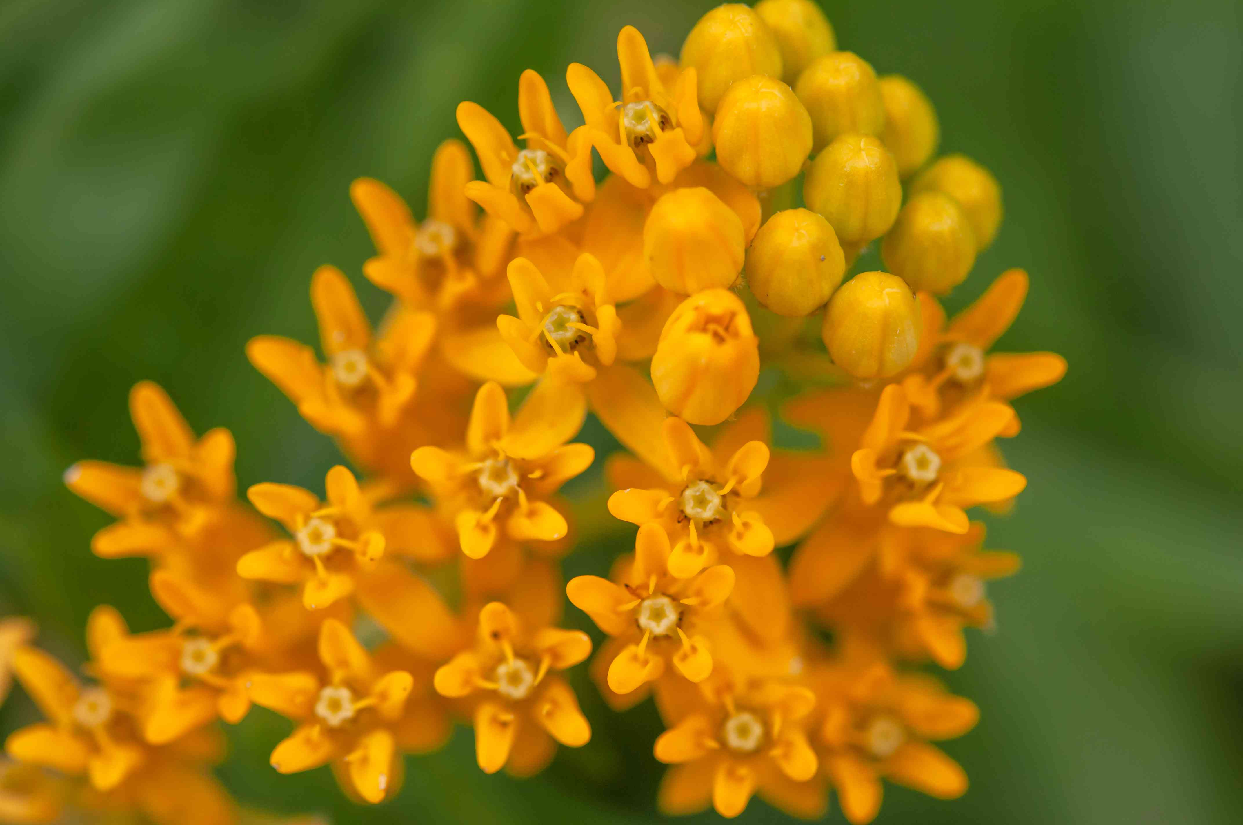Butterfly weed with orange flowers and buds closeup