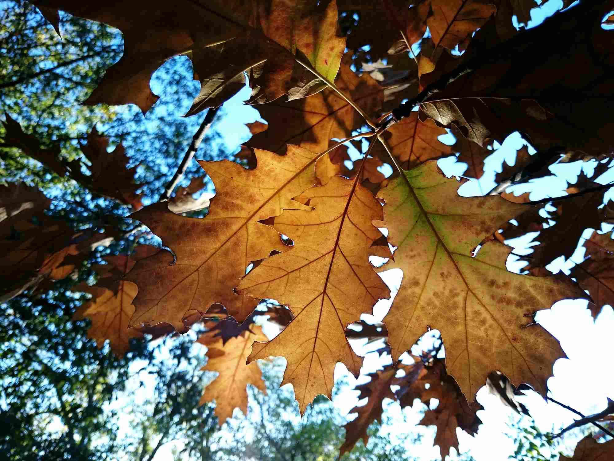 Hojas de roble rojo en otoño