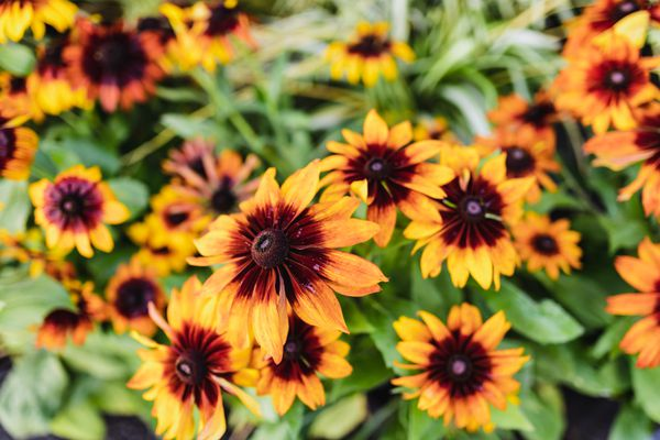 Black-eyed susan perennial bush with yellow flowers and red centers