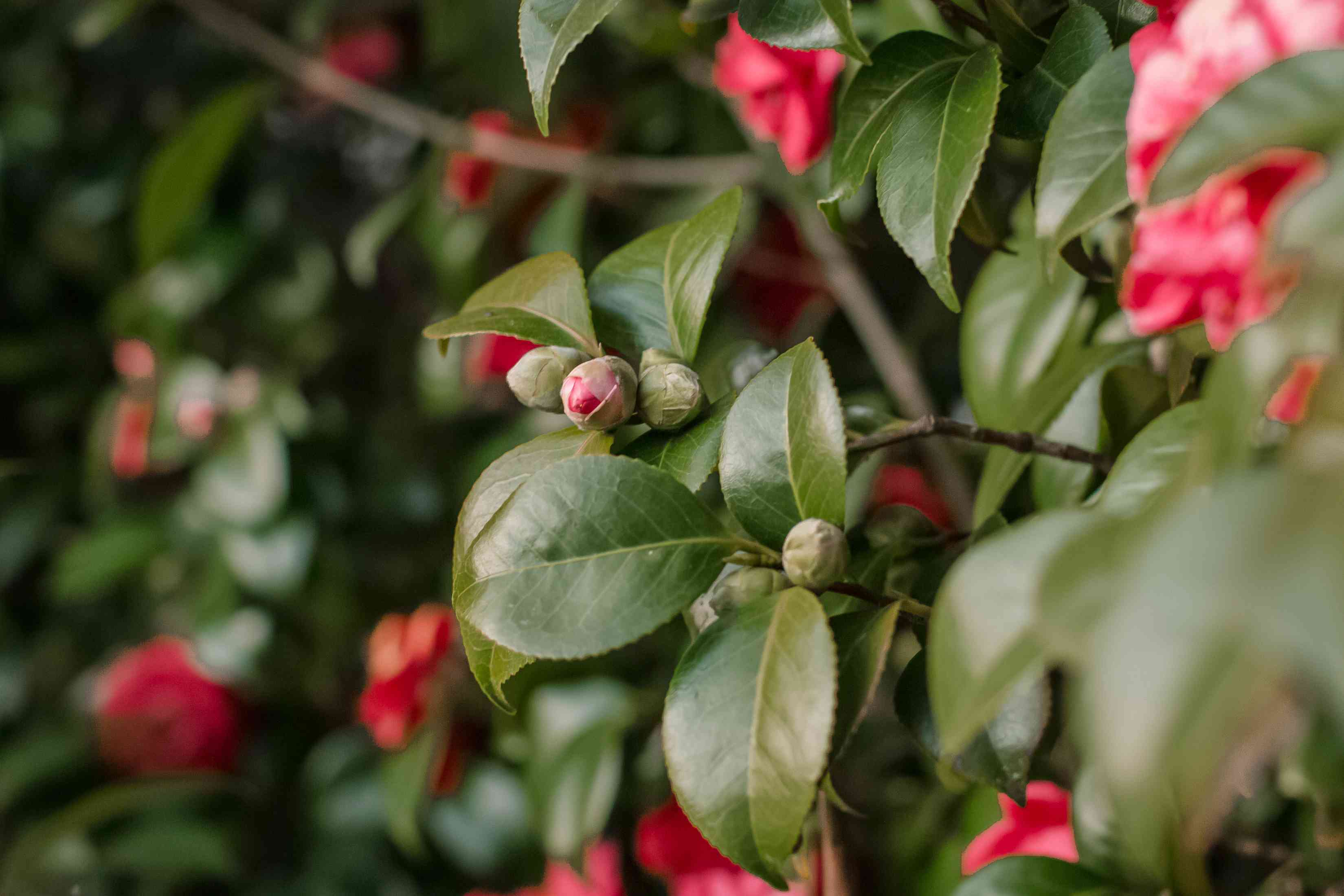 camellia flowers about to unfurl