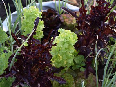 Lettuce leaves bolting between dark red vegetation