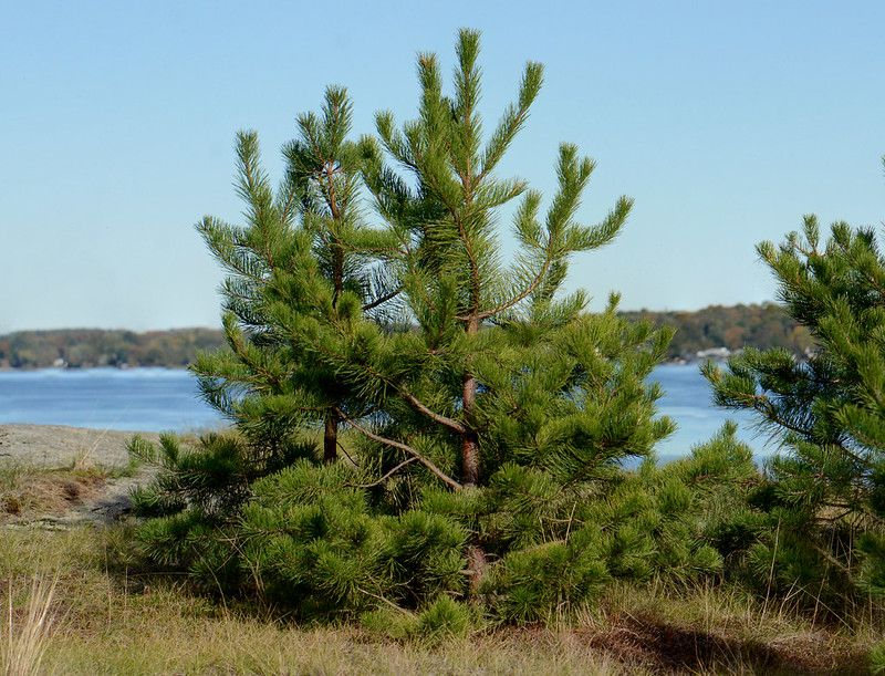 Pitch pine trees growing near water with lake in background.