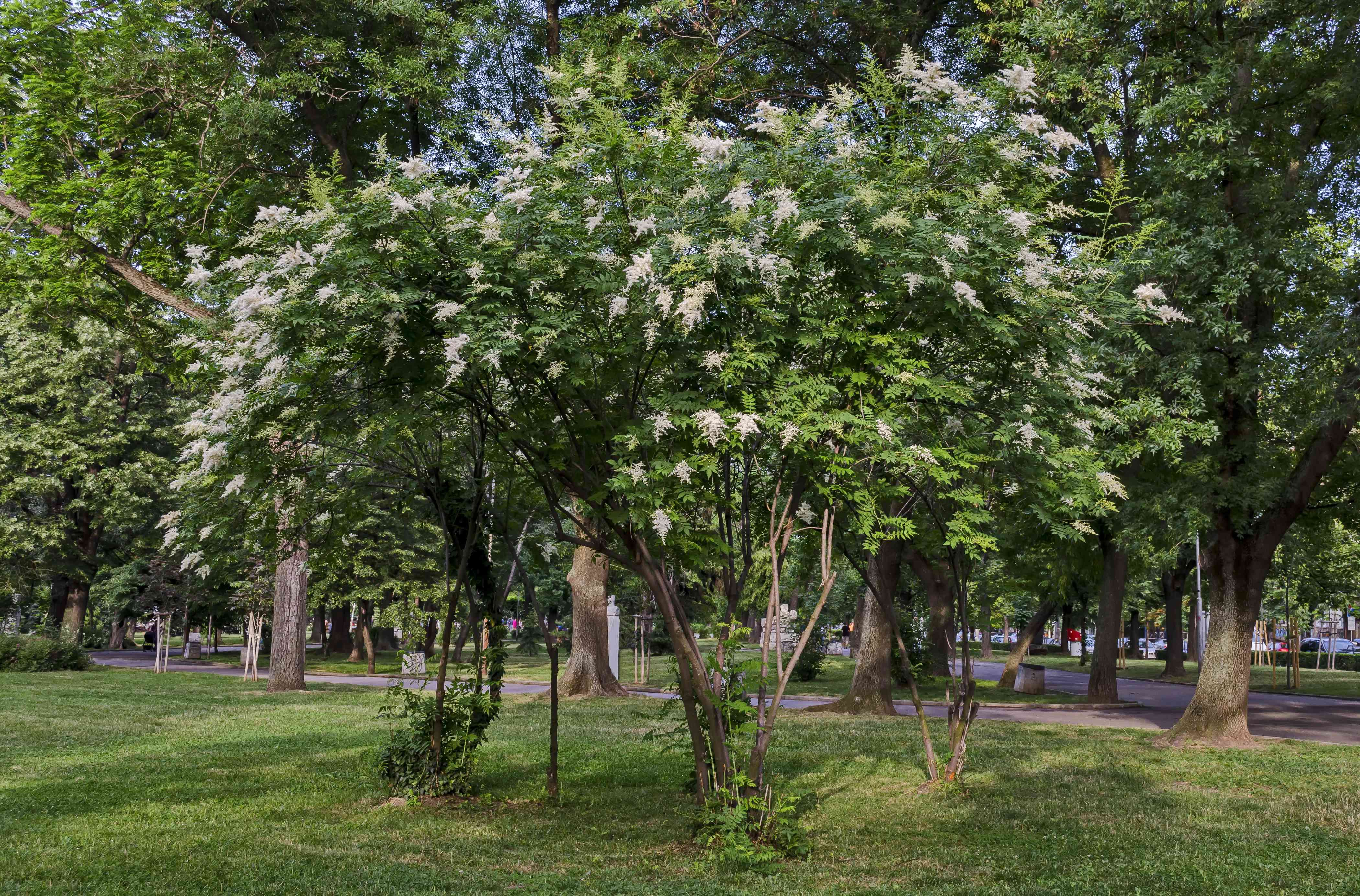 View of Japanese tree lilac or Syringa reticulata full of flowers in the springtime, Popular Zaimov park, district Oborishte