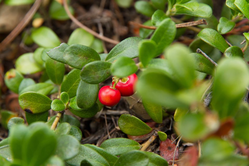 Bearberry Plant with Fruits Red