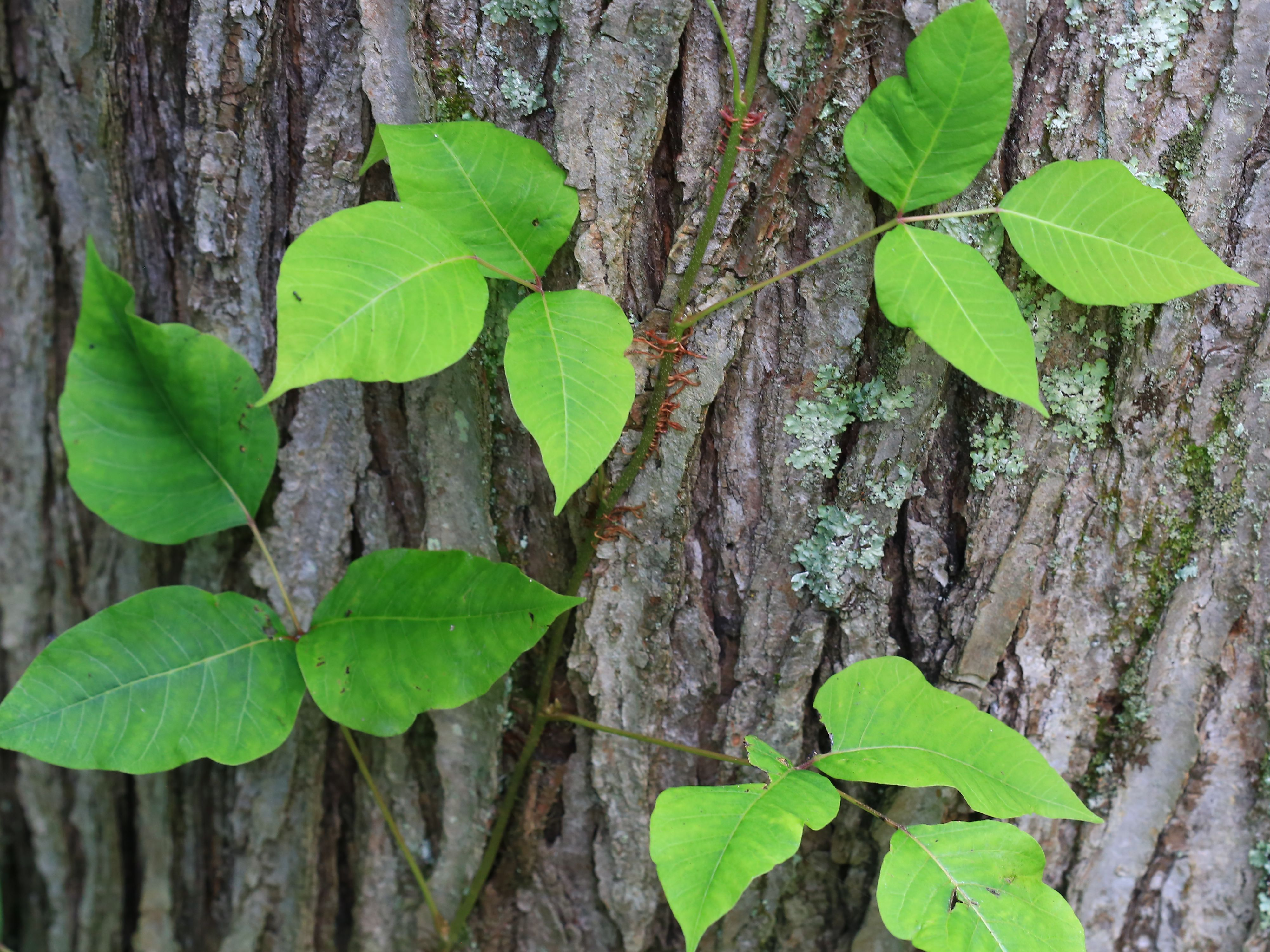 how to identify poison ivy in all 4 seasons