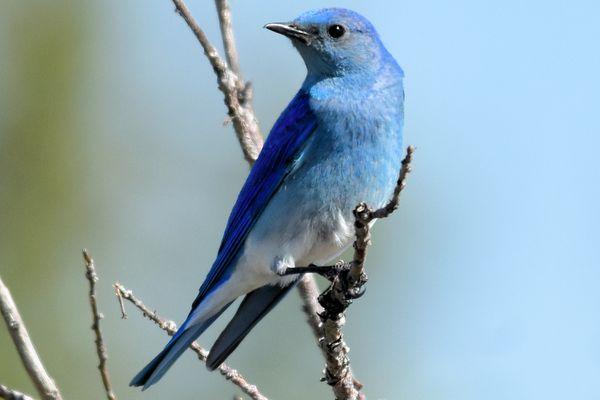 Mountain Bluebird - Male
