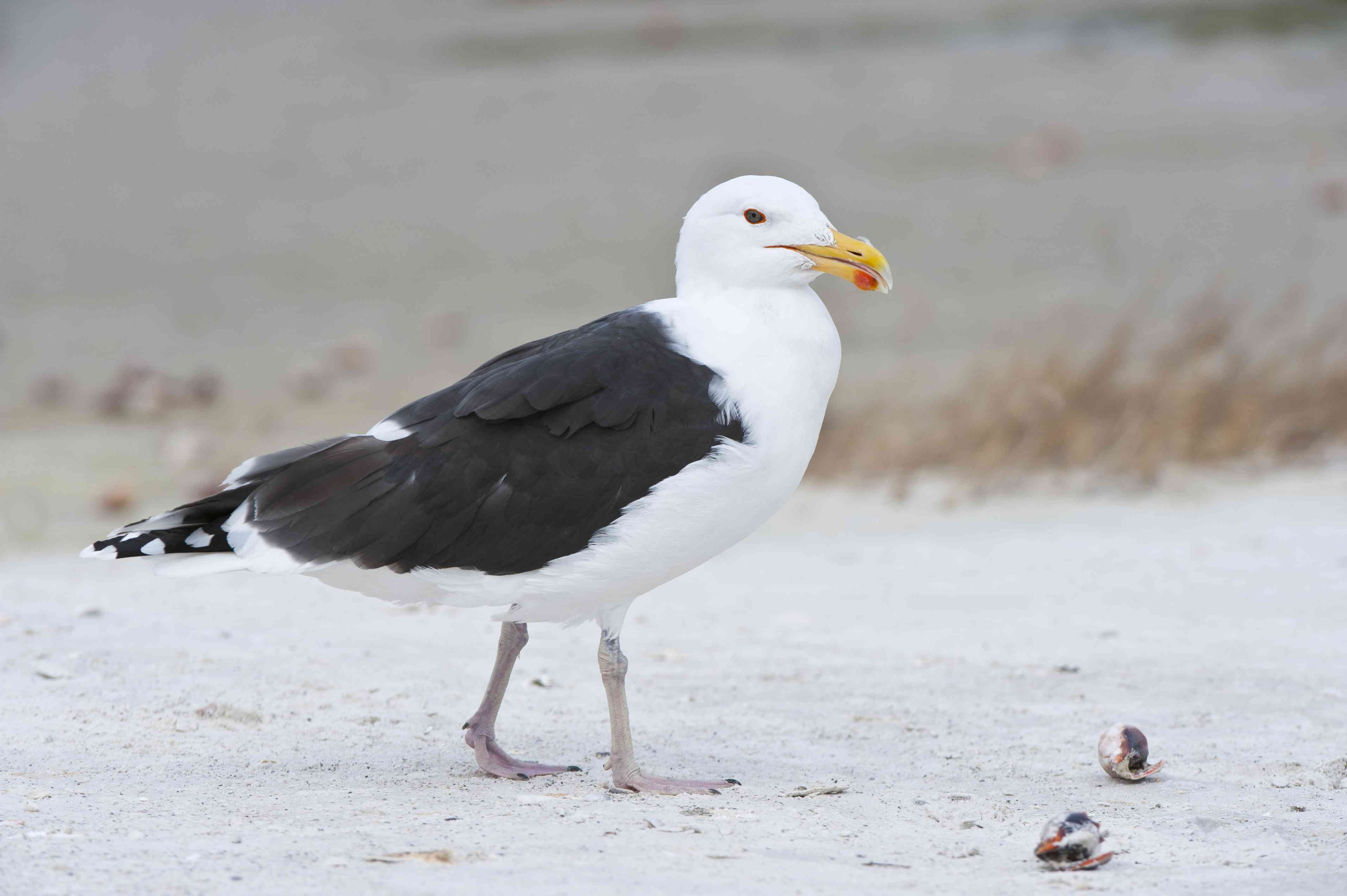 Great Black-backed Gull on Gulf Coast Beach