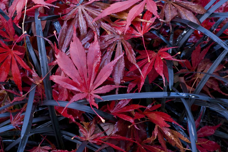 Black mondo grass covered by red maple leaves.
